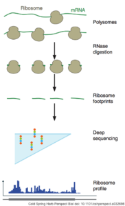 The ribosome profiling workflow