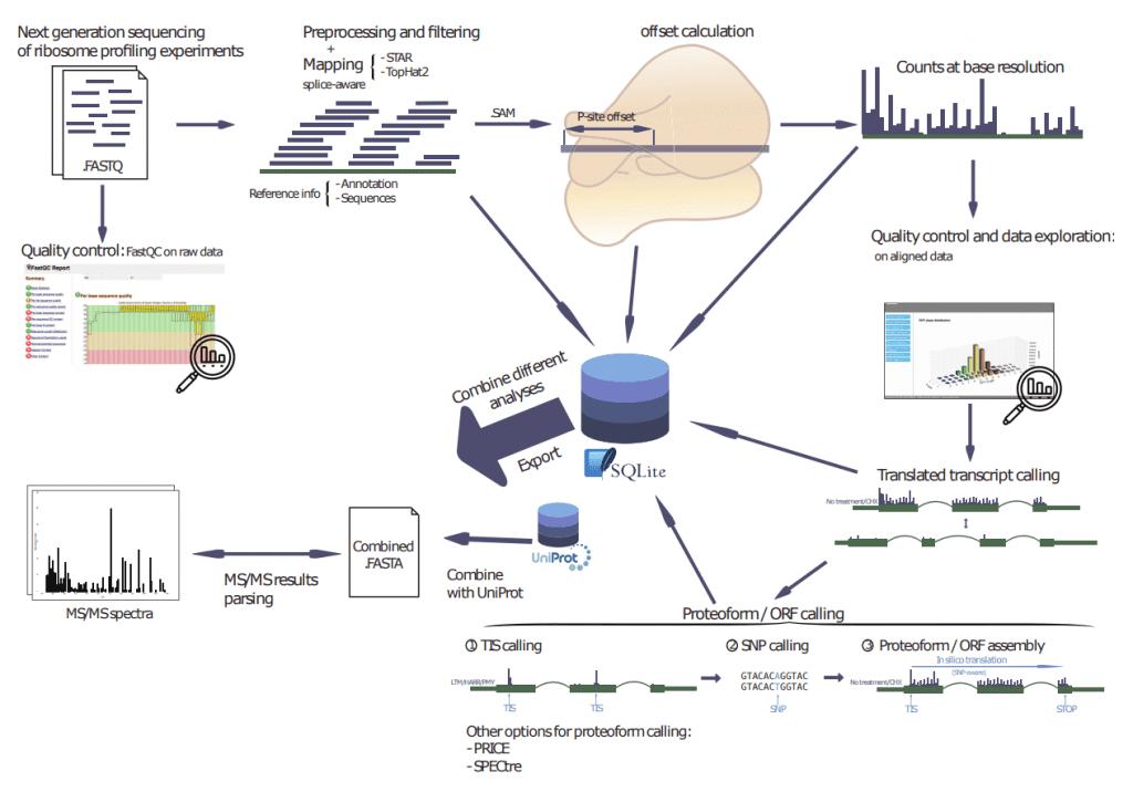 RIBO-seq bioinformatics service